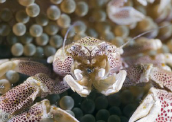 Porcelain crab.